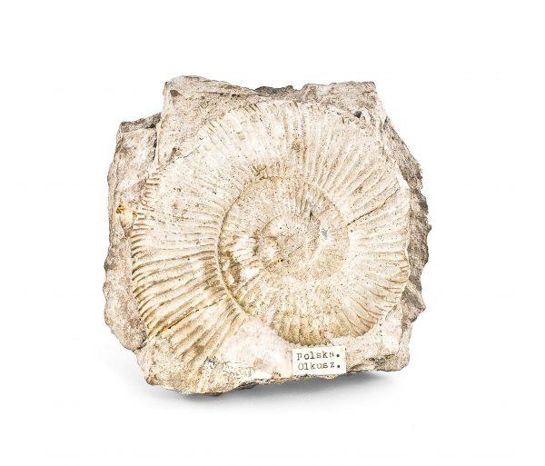 0036 P. P. Amonit PERISPHINCTES, era mezozoiczna – Jura -201 – 145 milionów lat temu, Polska-Olkusz