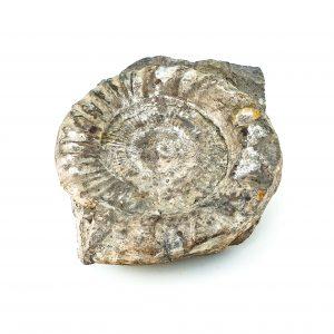0040 P. P. Amonit z rodz. PERISPHINCTE, era mezozoiczna – Jura- 201 – 145 milionów lat temu, okolice Krakowa