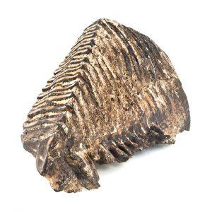 0259 P. P. Prawy górny ząb trzonowy mamuta Elephas primigenius, Czwartorzęd - Pleistocen – 250 – 10 tys. lat temu, Wisłoka k.Kołaczyc
